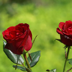 LO SAPEVI CHE puoi avere rose fresche anche a dicembre!
